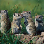 Young Belding ground squirrels, Tuolumne Meadows, Yosemite NP, CA, USA