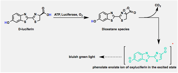 d_luciferin_reaction