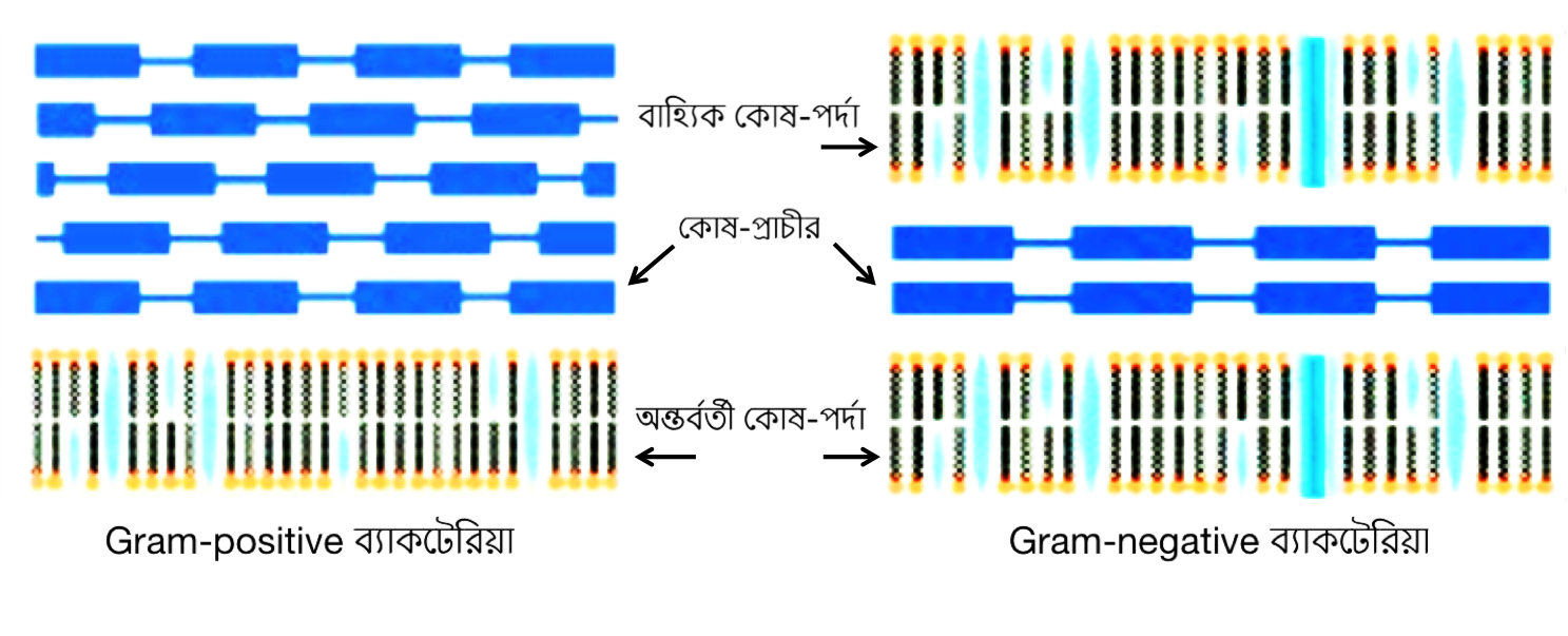 gram_negative_and_gram_positive_bacteria_differences